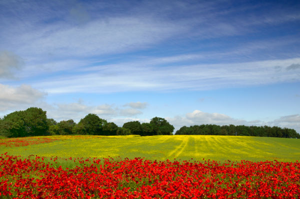 Poppies and Yellow Rape