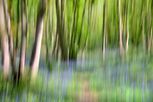 Bluebells on the Ercall
