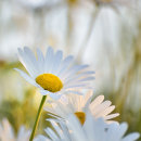 Big Eye Daisies
