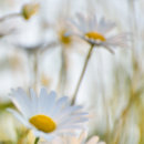 Big Eye Daisies #2