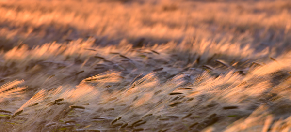 The Barley Field #2