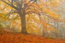 Autumnal Beech