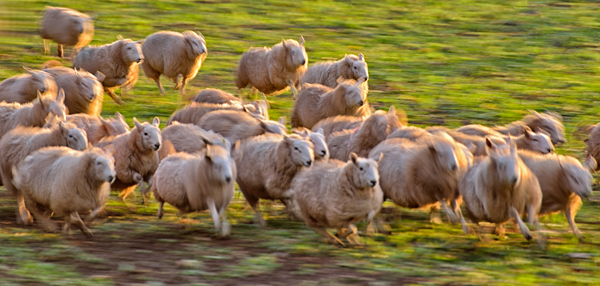 Sheep on the run
