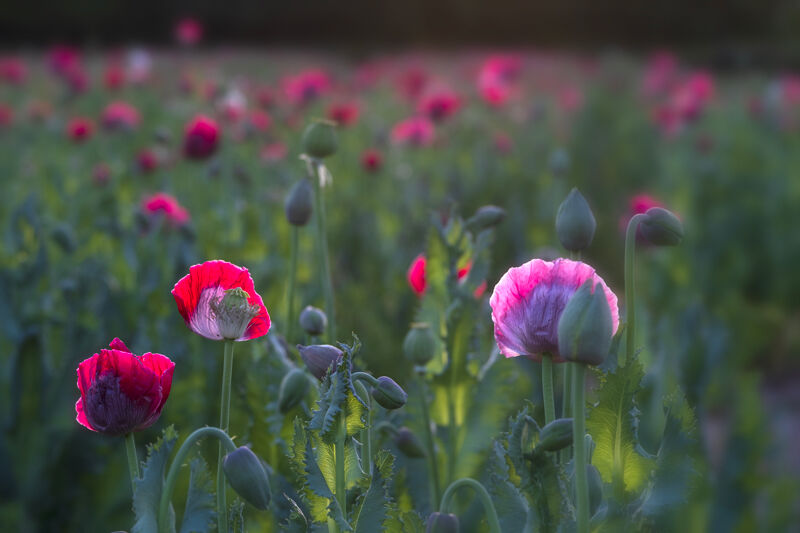 Backlit Opium Poppies