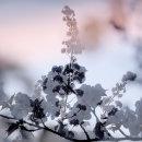 Cherry Blossom 2 (Multiple exposure).