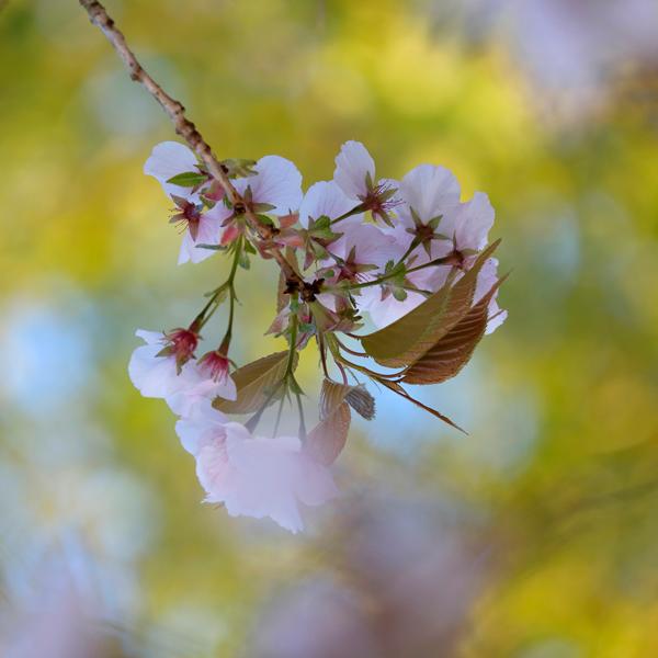 Pink blossom No2