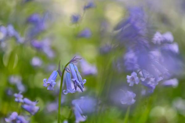 Ercall Bluebells