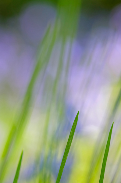 Bluebells and Grasses