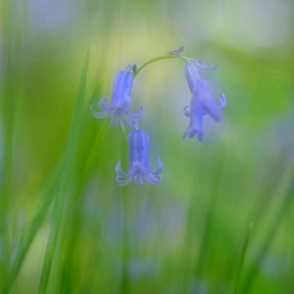 Bluebells and Grasses No2