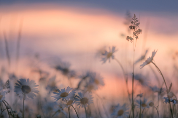 Daisies and Grasses (Multiple Exposure)