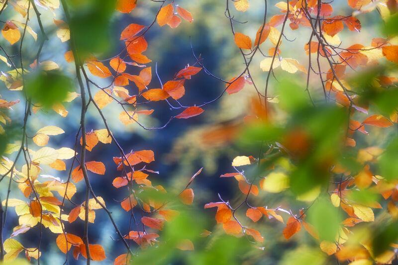 Beech Leaf Cascade