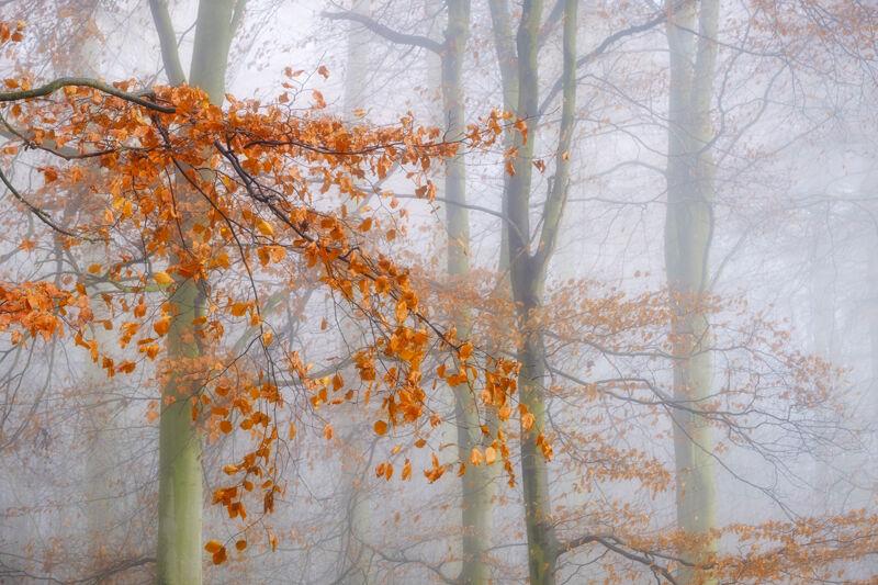 Beech Trees in the Mist