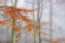 Beech Trees in the Mist