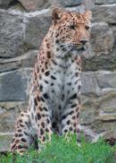 Scottish leopard