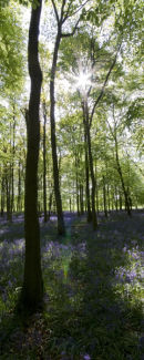 Dockey wood Bluebells 2