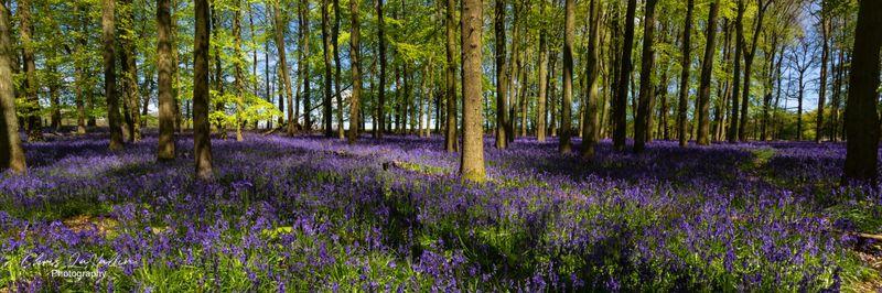 Bluebells, Dockey Wood