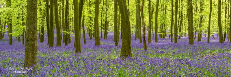 Bluebells, Dockey Wood