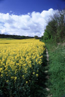 Chiltern rapeseed field