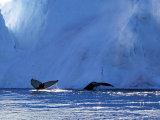 Humpback Whales #2
