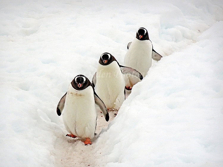 Three Penguins