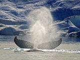 Humpback Whales #3