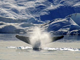 Humpback Whales #4