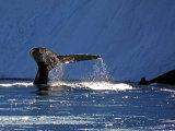 Humpback Whales #5