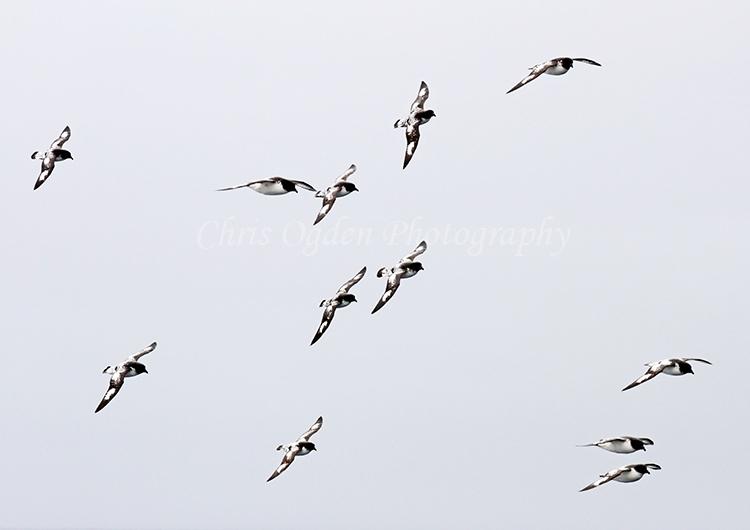 Cape Petrels Flying