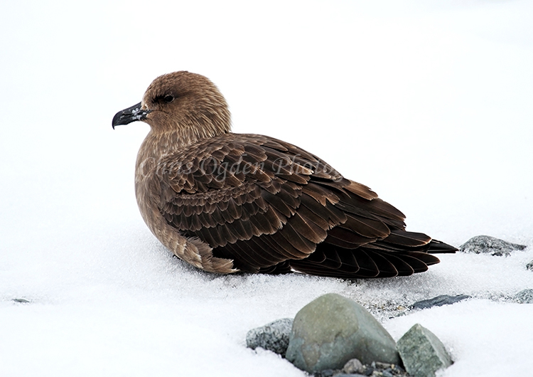 Antarctic Skua