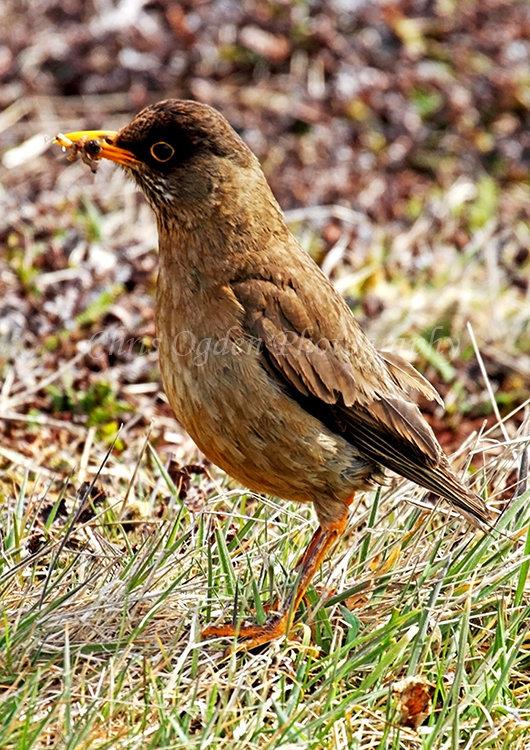 Falkland Island Thrush