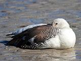 Female Upland Goose