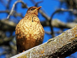 Falkland Islands Thrush #3