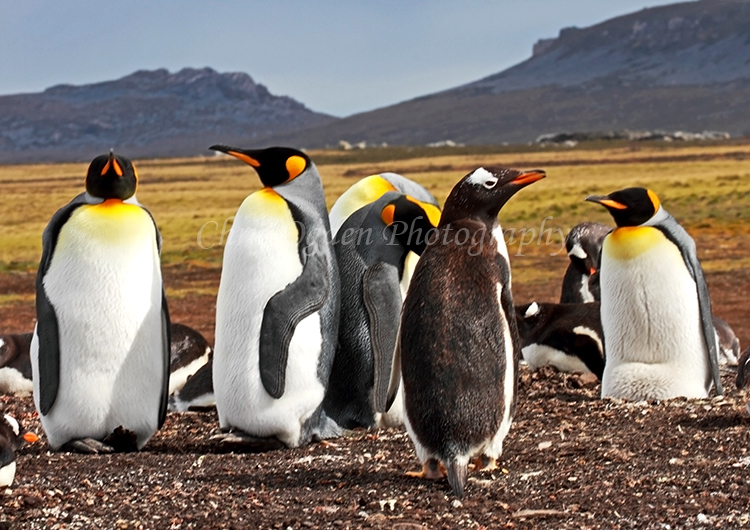 Gentoo Penguin with King Penguins