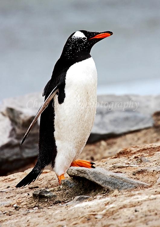 Gentoo Penguin #2
