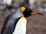 King Penguin Head