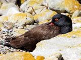 Falkland Islands Duck
