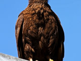 Striated Caracara #2