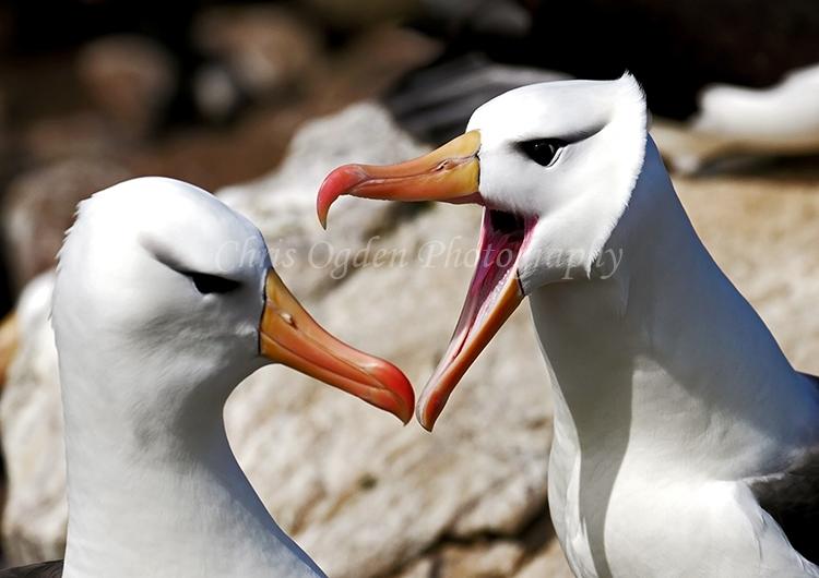 Albatross Bill Tapping