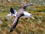 Albatross #3
