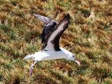 Albatross #4