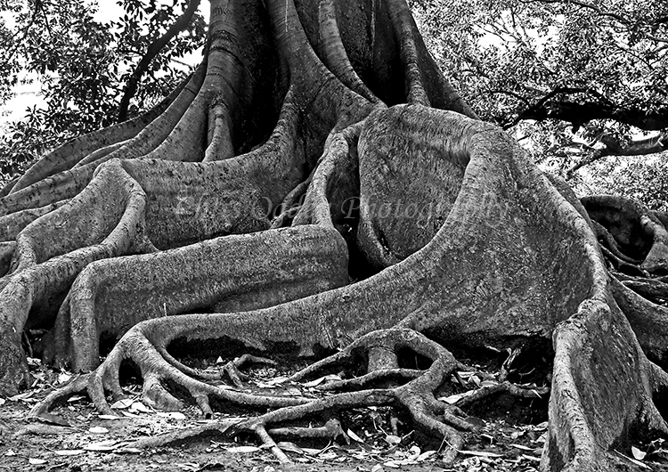 200 Year Old Rubber Tree Roots