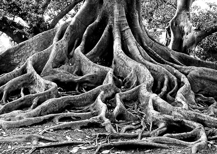 200 Year Old Rubber Tree Roots #2