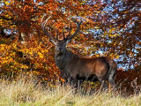 Red Deer #2