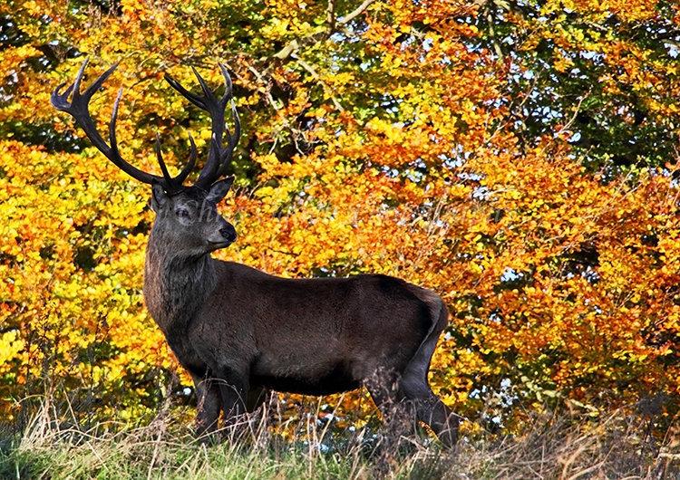 Red Deer #3