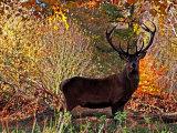Red Deer #4
