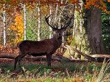 Red Deer #5