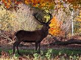 Red Deer #6