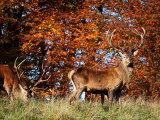 Red Deer #8