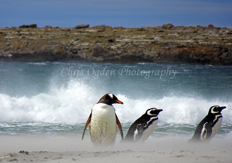 Gentou and Magellanic Penguins