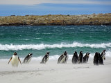 Gentou and Magellanic Penguins #2